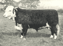 """CATTLE. Hereford Bull """"Cameronian"""" 1st & champion, RASE show 1906 1912 print"""